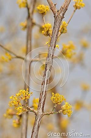 Cornus mas - Flower