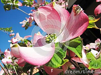Cornus plant during spring time