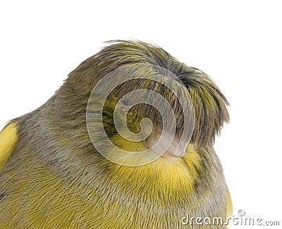 Corona color giallo canarino del gloster