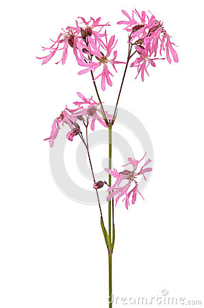 Coronaria flos-cuculi flower