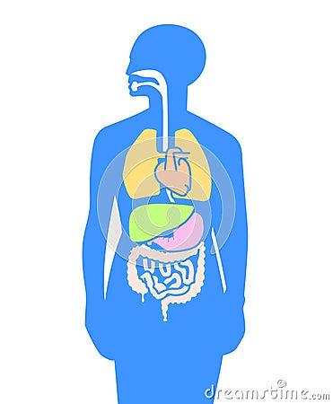 Corpo humano dos órgãos internos