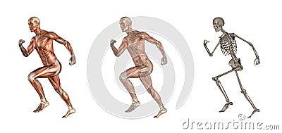 Corredor masculino da anatomia