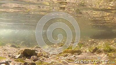 Corrente d'acqua dolce e due trote fario video d archivio