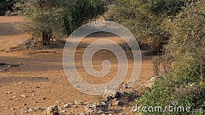 Corridas com o dorso negro africanas do chacal ao longo de Dusty Sandy Road Among The Shrubs video estoque