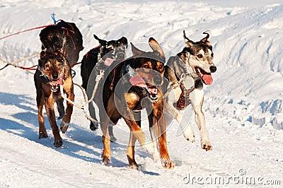Corsa di cane di slitta