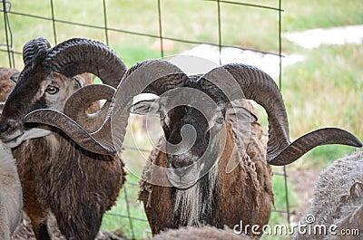 Corsican Sheep
