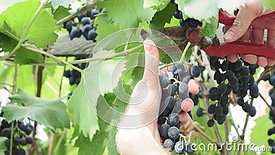 Corta uvas negras en el viñedo Cosecha metrajes