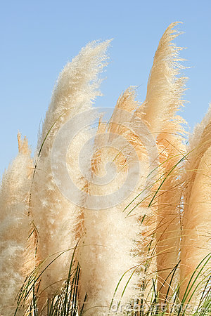 Beautiful view of perennial herb cortaderia waving in the wind
