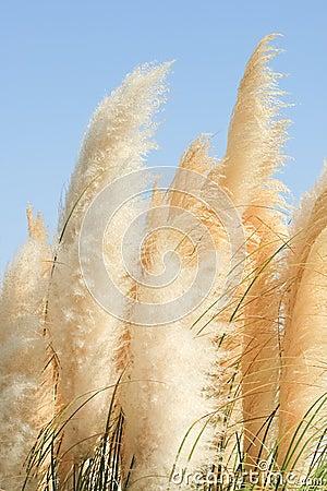 Cortaderia - una hierba perenne