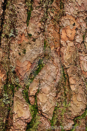 Corteza de árbol con el musgo
