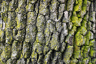 Corteza de árbol de roble