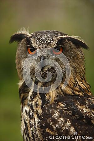 Coruja olhar fixamente
