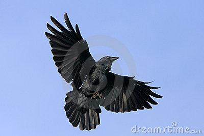 Corvo nero durante il volo con le ali spante