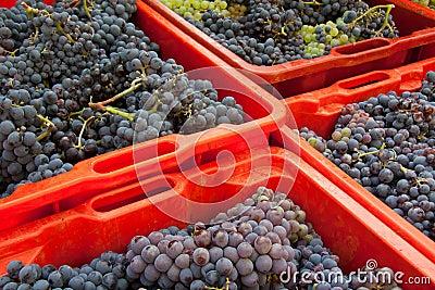 Cosecha 01 de la uva