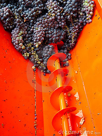 Cosecha 02 de la uva