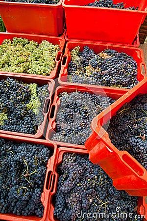 Cosecha 10 de la uva