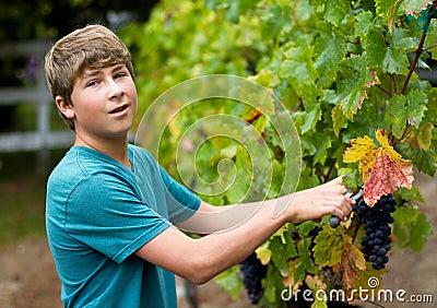 Cosecha de la uva