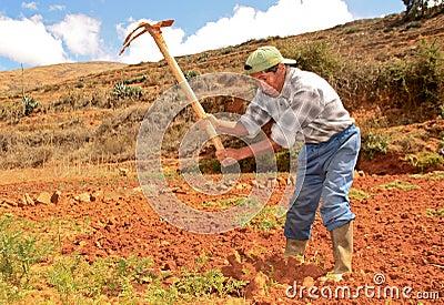 Cosecha de la zanahoria. Perú Foto editorial