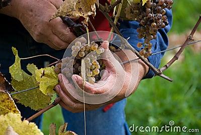 Cosecha de las uvas para el vino