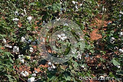 Cosecha del algodón