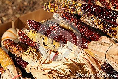 Cosecha del maíz del día de fiesta
