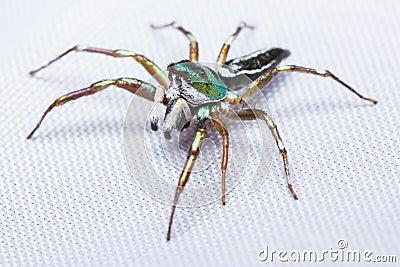 Cosmophasis umbratica jumping spider