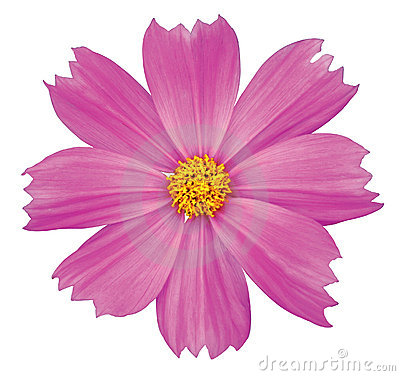 Free Cosmos Flower Stock Photos - 15298153