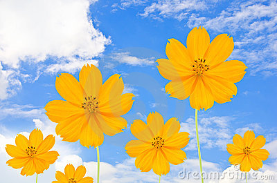 Cosmos flower and blue sky