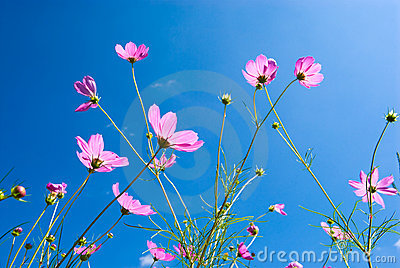 Cosmos Flowers on Cosmos Flowers Royalty Free Stock Photo   Image  16449505