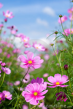 Free Cosmos Flowers Stock Images - 18700064