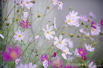 Cosmos Flowers on Cosmos Flowers Stock Photography   Image  18967532