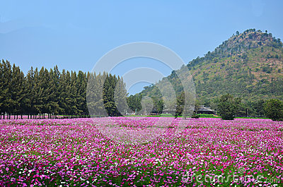 Cosmos Flowers Field at Countryside Nakornratchasrima Thailand