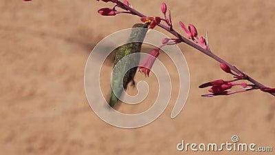 Costa hummingbird i czerwieni jukki kwiaty zdjęcie wideo