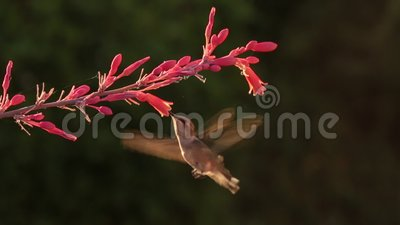 Costa hummingbird i czerwieni jukki kwiaty zbiory wideo