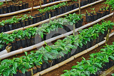 Costa Rica coffee baby plants in bags