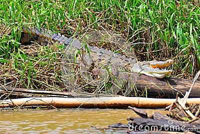 Costa Rica Crocodile resting