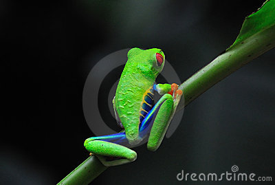 Costa Rica Red Eye Tree Frog