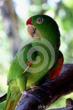 Costa Ricaanse Papegaai