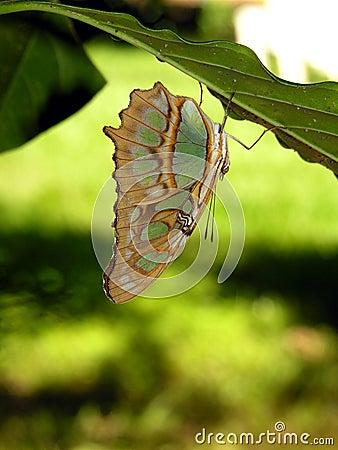 Free Costa Rican Butterfly - Siproeta Stelenes Stock Image - 1278161
