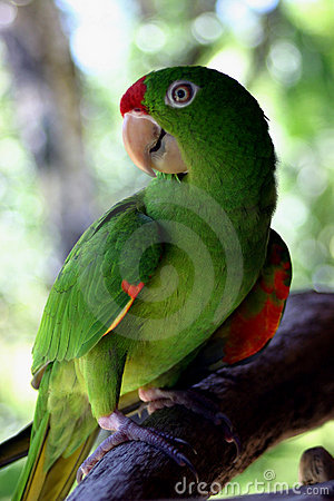 Free Costa Rican Parrot Stock Images - 621584
