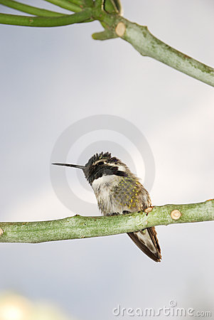 Costa s hummingbird