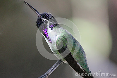 Costa s Hummingbird
