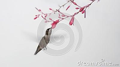 Costa's hummingbird och röda yucca blommor på vit bakgrund arkivfilmer