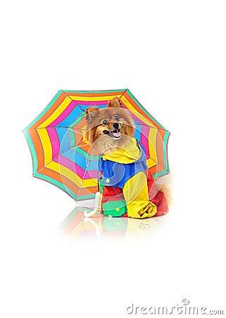Costumed Pomeranian Rainy