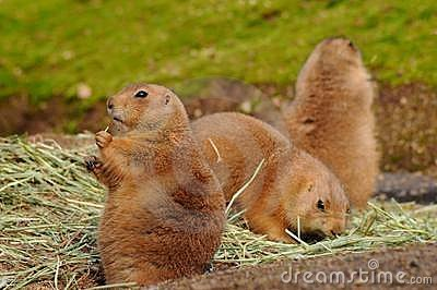 Coterie of prairie dogs