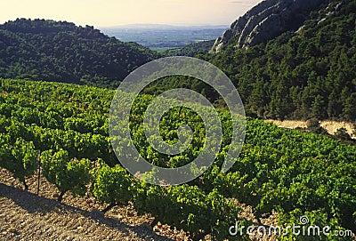 Cotes du rhone vineyards dentelles de montmarail vaucluse proven