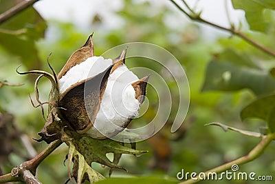 Coton dans la ferme
