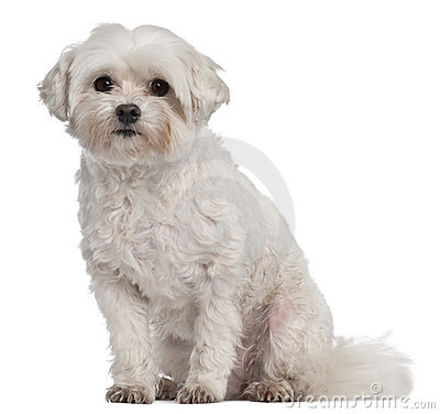 Coton de Tulear, 7 years old, sitting
