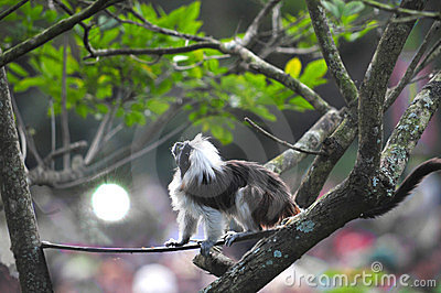 Coton-top Tamarin