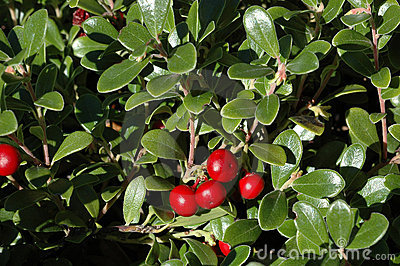 Cotoneaster cochleatus shrub with red berries